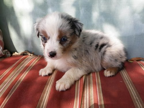 Available Puppies For Sale | S and F Australian Shepherds